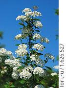 Купить «Цветение спиреи альпийской - spiraea alpina», эксклюзивное фото № 1626527, снято 30 мая 2009 г. (c) lana1501 / Фотобанк Лори