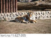 Купить «Задумчивая тигрица», фото № 1627055, снято 11 апреля 2010 г. (c) Наталья Волкова / Фотобанк Лори