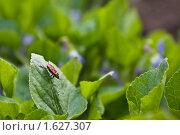 Красноклоп обыкновенный, pyrrhocoris apterus. Стоковое фото, фотограф Решетило Александр / Фотобанк Лори