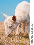 Коза на пастбище. Стоковое фото, фотограф Вячеслав Борисевич / Фотобанк Лори