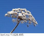 Купить «Засохшее соцветие растения покрытое снегом», фото № 1628495, снято 20 ноября 2009 г. (c) Олег Рубик / Фотобанк Лори
