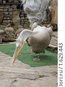 Купить «Домашний пеликан», фото № 1629443, снято 11 апреля 2010 г. (c) Самофалов Владимир Иванович / Фотобанк Лори