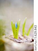Пролеска двулистная. Стоковое фото, фотограф Мария Калиниченко / Фотобанк Лори