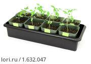 Купить «Рассада томатов», фото № 1632047, снято 28 марта 2010 г. (c) Александр Романов / Фотобанк Лори