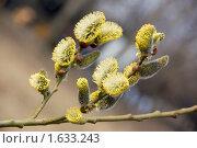 Купить «Верба», фото № 1633243, снято 16 апреля 2010 г. (c) Илюхина Наталья / Фотобанк Лори