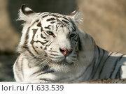 Купить «Бенгальский (белый) тигр», эксклюзивное фото № 1633539, снято 10 апреля 2010 г. (c) Щеголева Ольга / Фотобанк Лори