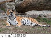 Лежащий тигр. Стоковое фото, фотограф Голованова Светлана / Фотобанк Лори