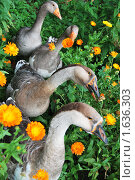 Гуси в цветах календулы. Стоковое фото, фотограф Гаянэ Григорян / Фотобанк Лори