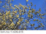 Купить «Верба цветет», фото № 1636615, снято 17 апреля 2010 г. (c) Качанов Владимир / Фотобанк Лори