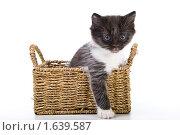 Красивый котенок вылезает из корзины. Стоковое фото, фотограф Куликова Вероника / Фотобанк Лори