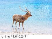 Купить «Олень с длинными рогами в океане», фото № 1640247, снято 23 октября 2009 г. (c) Куликов Константин / Фотобанк Лори