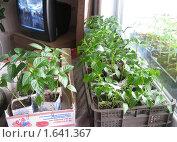 Купить «Рассада в квартире», фото № 1641367, снято 19 апреля 2010 г. (c) Людмила Банникова / Фотобанк Лори