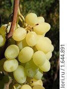 Зеленый виноград. Стоковое фото, фотограф Михаил Снисаренко / Фотобанк Лори