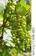 Кисть зеленого винограда. Стоковое фото, фотограф Земфира Магадеева / Фотобанк Лори