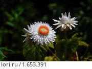 Купить «Цветок гелихризума (сухоцвет)», эксклюзивное фото № 1653391, снято 27 июля 2008 г. (c) Алёшина Оксана / Фотобанк Лори