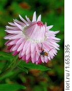 Купить «Цветок гелихризума (сухоцвет)», эксклюзивное фото № 1653395, снято 27 июля 2008 г. (c) Алёшина Оксана / Фотобанк Лори