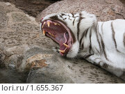 Купить «Тигр с открытой пастью», фото № 1655367, снято 24 апреля 2010 г. (c) Наталья Волкова / Фотобанк Лори