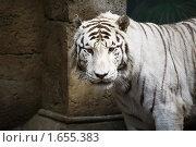 Купить «Белый бенгальский тигр», фото № 1655383, снято 24 апреля 2010 г. (c) Наталья Волкова / Фотобанк Лори
