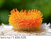 Купить «Цветок гелихризума (сухоцвет). Фрагмент.», фото № 1656535, снято 1 августа 2008 г. (c) Алёшина Оксана / Фотобанк Лори