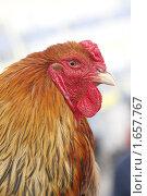 Купить «Голова рыжей курицы», эксклюзивное фото № 1657767, снято 23 апреля 2010 г. (c) Дмитрий Неумоин / Фотобанк Лори