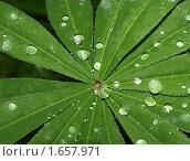 Купить «Капли дождя на листьях», фото № 1657971, снято 14 августа 2009 г. (c) Самойлова Екатерина / Фотобанк Лори