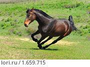 Гнедая лошадь в поле на свободе. Стоковое фото, фотограф Титаренко Елена / Фотобанк Лори