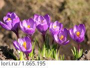 Купить «Крокусы фиолетовые», эксклюзивное фото № 1665195, снято 10 апреля 2010 г. (c) Щеголева Ольга / Фотобанк Лори