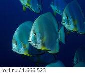 Батфиш (The Batfish) Стоковое фото, фотограф Нина Гурвич / Фотобанк Лори