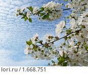 Купить «Цветет вишня», фото № 1668751, снято 25 апреля 2010 г. (c) Бондарь Александр Николаевич / Фотобанк Лори