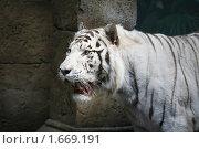 Купить «Оскалившийся белый бенгальский тигр», фото № 1669191, снято 24 апреля 2010 г. (c) Наталья Волкова / Фотобанк Лори