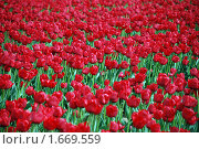 Купить «Поля тюльпанов», фото № 1669559, снято 18 апреля 2010 г. (c) Олеся Ефименко / Фотобанк Лори