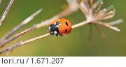 Купить «Божья коровка на сухом стебле травы», эксклюзивное фото № 1671207, снято 17 августа 2009 г. (c) Алёшина Оксана / Фотобанк Лори