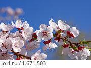 Купить «Цветение абрикоса на фоне голубого неба», фото № 1671503, снято 25 апреля 2010 г. (c) Андрей Ижаковский / Фотобанк Лори