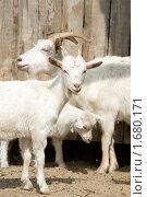 Купить «Козы», фото № 1680171, снято 1 мая 2010 г. (c) Вячеслав Борисевич / Фотобанк Лори