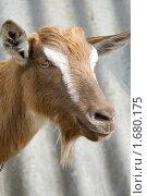 Купить «Голова козы», фото № 1680175, снято 1 мая 2010 г. (c) Вячеслав Борисевич / Фотобанк Лори