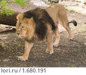 Гуляющий лев. Стоковое фото, фотограф Голованова Светлана / Фотобанк Лори