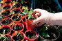 Выращивание рассады помидоров, фото № 1680887, снято 11 апреля 2010 г. (c) Александр Катайцев / Фотобанк Лори