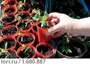 Купить «Выращивание рассады помидоров», фото № 1680887, снято 11 апреля 2010 г. (c) Александр Катайцев / Фотобанк Лори