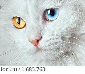 Купить «Белый кот с разноцветными глазами», фото № 1683763, снято 19 апреля 2010 г. (c) Андрей Армягов / Фотобанк Лори