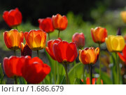 Купить «Солнечные тюльпаны», эксклюзивное фото № 1686679, снято 8 мая 2010 г. (c) Svet / Фотобанк Лори