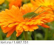 Кузнечик на цветке календулы. Стоковое фото, фотограф Oksana Boborykina / Фотобанк Лори