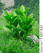 Высокогорное растение. Стоковое фото, фотограф Александр Евсюков / Фотобанк Лори