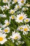 Ромашки, фото № 1687835, снято 5 июня 2005 г. (c) Кравецкий Геннадий / Фотобанк Лори
