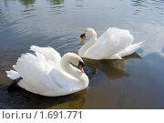 Купить «Лебедь-шипун. Cygnus olor», фото № 1691771, снято 9 мая 2010 г. (c) Александр Шилин / Фотобанк Лори