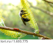 Сбор пыльцы пчелой. Стоковое фото, фотограф Александр Масалев / Фотобанк Лори