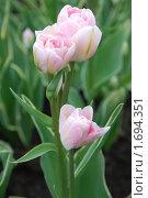 Розовые тюльпаны. Стоковое фото, фотограф Дарья Силич / Фотобанк Лори