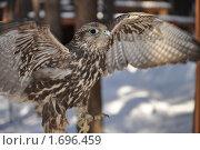 Сокол с открытыми крыльями. Стоковое фото, фотограф Александр  Новоселов / Фотобанк Лори