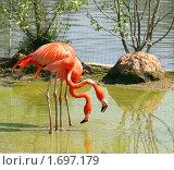 Купить «Красные фламинго в Московском зоопарке», фото № 1697179, снято 8 мая 2010 г. (c) Щеголева Ольга / Фотобанк Лори