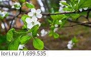Вишня садовая, цветы. Стоковое фото, фотограф Попонина Ольга / Фотобанк Лори