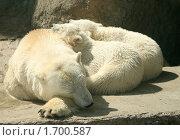 Купить «Белые медведи спят. Медведица и два детеныша», фото № 1700587, снято 8 мая 2010 г. (c) Щеголева Ольга / Фотобанк Лори